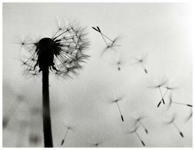 'Palabras ao vento': a frol dun 'dente de león' cando sopramos sobre ela.